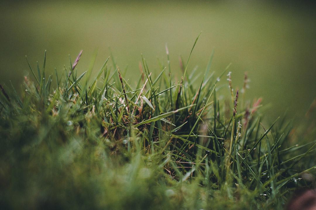 Kikuyu Grass Aldelaide