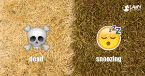 winter dormancy or dead lawn